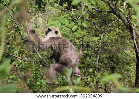 Wild White Langurs with Baby Climbing in Forest at Tiger's Nest Monastery (Taktsang), Paro Valley, Bhutan.