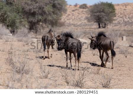 wild Wildebeest Gnu grazing, Kgalagadi, South Africa, true wildlife - stock photo