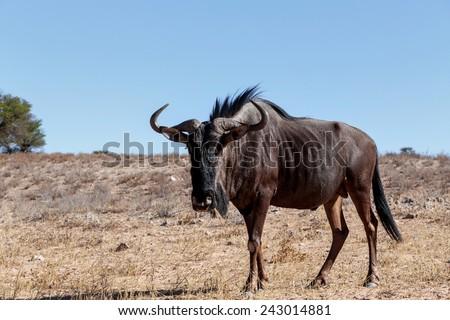 wild Wildebeest Gnu, Kgalagadi, South Africa, true wildlife - stock photo