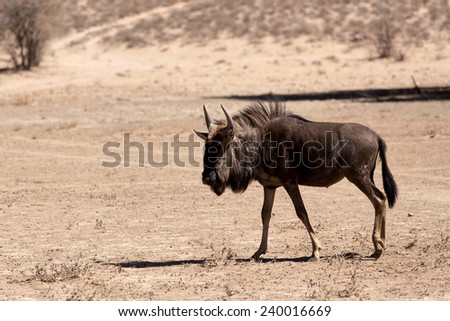 wild Wildebeest Gnu standing in desert, Kgalagadi Transfrontier Park, South Africa, true wildlife - stock photo