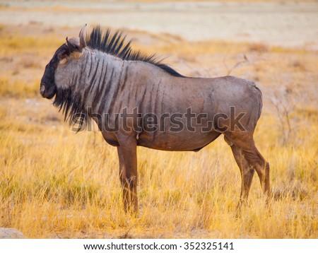 Wild wildebeest gnu standing in savanna of Etosha National Park, Namibia. Profile view. - stock photo