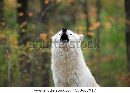 Wild wolf in the woods during autumn, howling. - stock photo