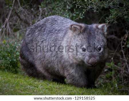 Wild Wombat in Victoria, Australia - stock photo