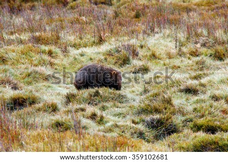 wild wombat in world heritage overland track area craddle mountain