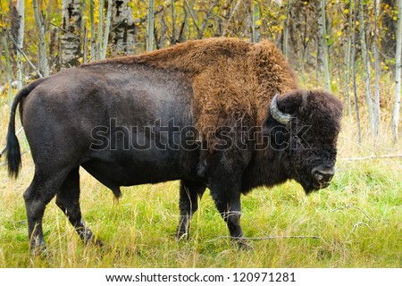 Wild Wood Bison, Elk Island National Park Alberta Canada - stock photo