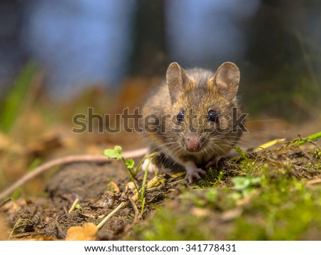 Wild wood mouse (Apodemus sylvaticus) resting on the forest floor of a dense wood. This cute and shy animal is a happy natural creature. - stock photo
