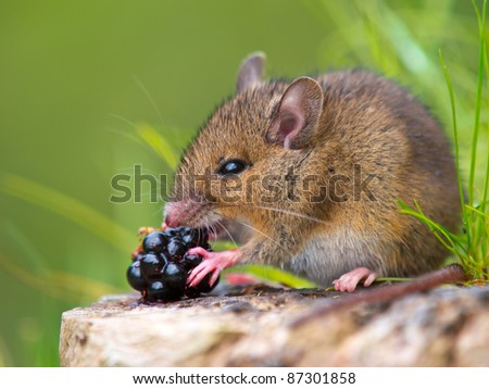 Wild wood mouse eating raspberry on log - stock photo