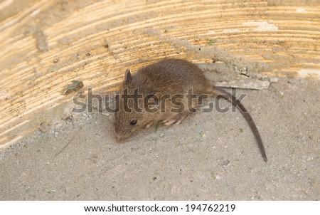 Wild wood mouse sitting - stock photo
