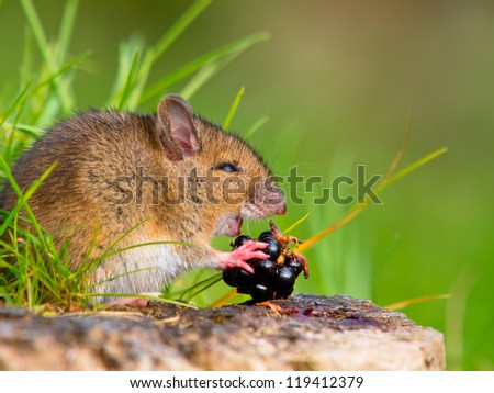 Wild Wood Mouse Taking a Bite of a Blackberry on Log Sideview - stock photo