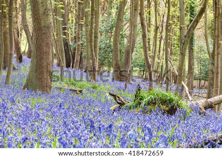 Wild Woodland Meadow With Bluebell Flowers at Spring - stock photo