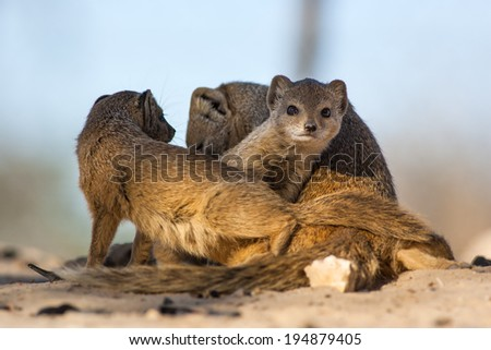 Wild Yellow mongoose family playing in the shade of a tree in the Kalahari desert