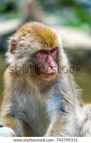 Wild young japanese Macaque (Macaca Fuscata) or Snow monkey. Jigokudani, Nagano Prefecture, Japan
