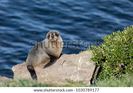Wild young New Zealand fur seal (Arctocephalus forsteri) on a rock with ocean in background