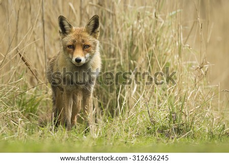 Wild young red fox (vulpes vulpes) vixen cub scavenging in a forest - stock photo