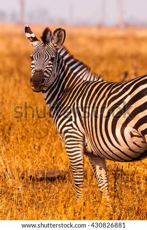 Wild Zebra in an open savannah flood plain - stock photo