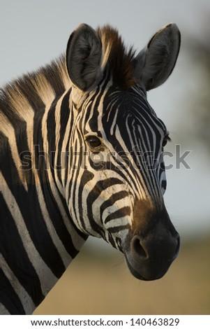 Wild zebra portrait - stock photo