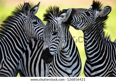 Wild Zebra socialising in Africa - stock photo