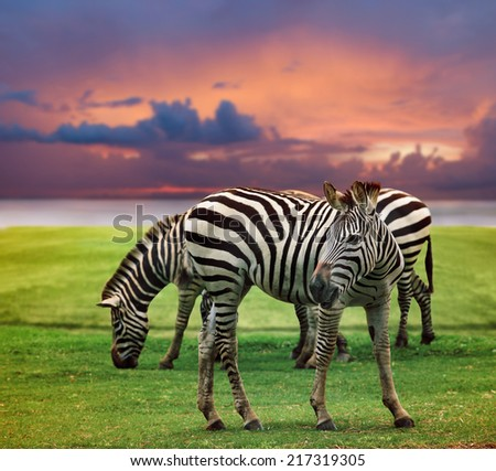wild zebra standing in green grass field against beautiful dusky sky use for wild life and animals in africa safari wilderness  - stock photo