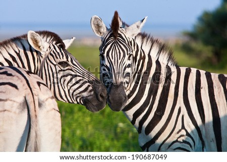 Wild Zebras in a Field