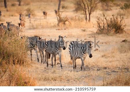 Wild zebras walking at sunset - stock photo
