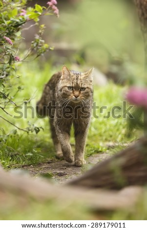 Wildcat - stock photo