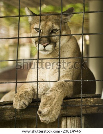 Wildcat in cage