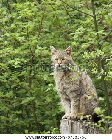 wildcat sitting on a stub in green forest back