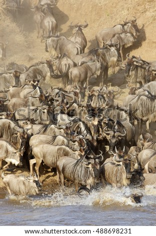 Wildebeest and dust along the Mara river