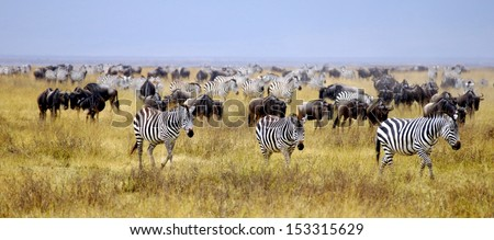 wildebeest and zebra's are  grazing on the  savannah in Africa - stock photo