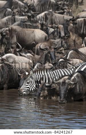 Wildebeest and Zebras at the Serengeti National Park, Tanzania, Africa - stock photo