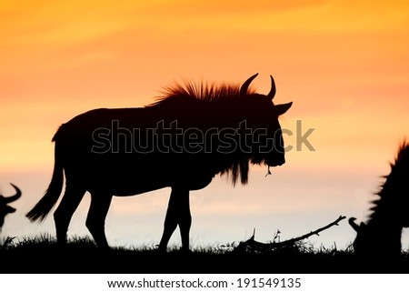 Wildebeest antelope silhouetted against the orange sunset sky