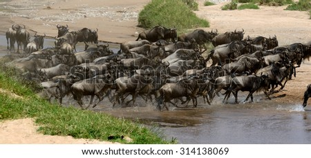 Wildebeest (Connochaetes) cross a river while migrating on the Maasai Mara National Reserve safari in  Kenya - stock photo
