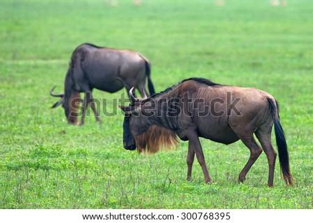 Wildebeest ( Connochaetes taurinusin) is grazing in African savannah  - stock photo