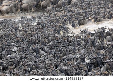 Wildebeest crossing the Mara river. - stock photo
