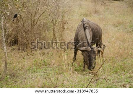 wildebeest grazing on the African plain - stock photo