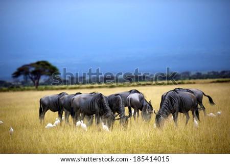 Wildebeest herd, Gnu on savanna. masai mara in Kenya - stock photo