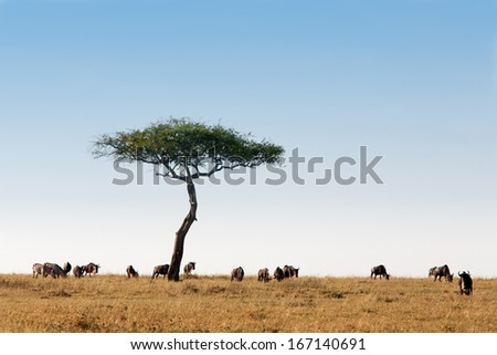 wildebeest herd in the beautiful plains of the Masai Mara reserve in Kenya Africa - stock photo