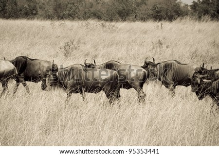 Wildebeest herds head towards the Talek River during the Great Migration. - stock photo