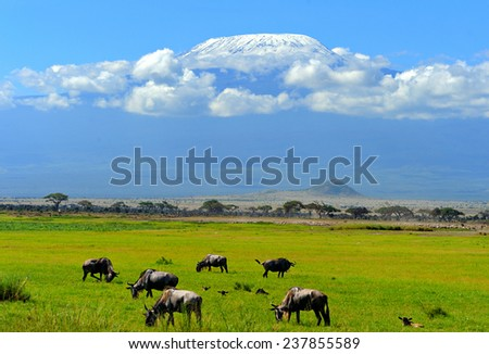 Wildebeest in the National Reserve of Africa, Kenya - stock photo
