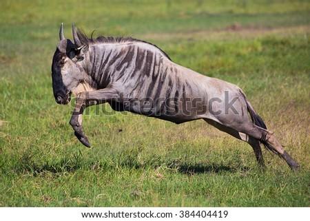 Wildebeest jump, running antelope in african savannah in national park, Kenya, Africa  - stock photo