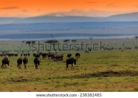 Wildebeest migration at sunrise in Masai Mara, Kenya - stock photo
