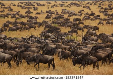 Wildebeest migration in the Sereneti, Tanzania - stock photo