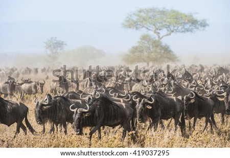 Wildebeest migration. The herd of migrating antelopes goes on dusty savanna. The wildebeests, also called gnus or wildebai, are a genus of antelopes, Connochaetes. - stock photo