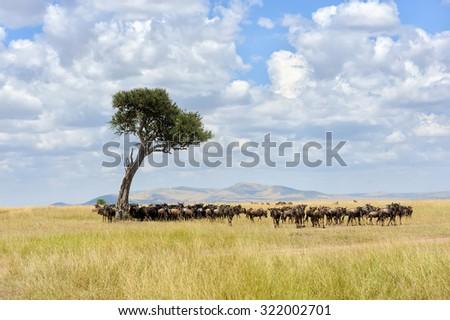 Wildebeest, National park of Kenya, Africa - stock photo