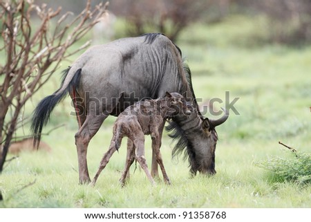 Wildebeest newly born and Mother - stock photo