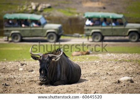 Wildebeest resting on dusty patch in a safari park, while a guided tour pass by in the background - stock photo