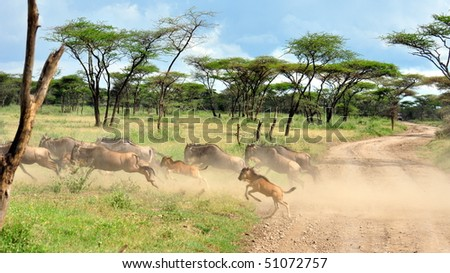 Wildebeest stampede. Serengeti National Park, Tanzania - stock photo
