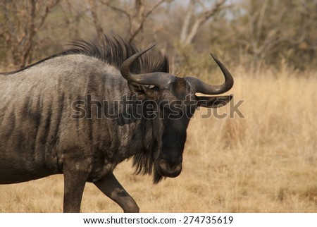 Wildebeest taken in Limpopo, South Africa - stock photo