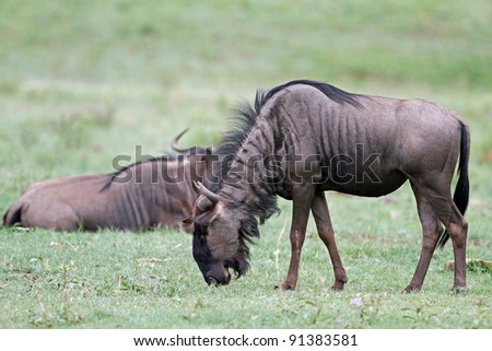 wildebeest,The Blue Wildebeest, also called the Common Wildebeest, is a large antelope and one of two species of wildebeest. - stock photo