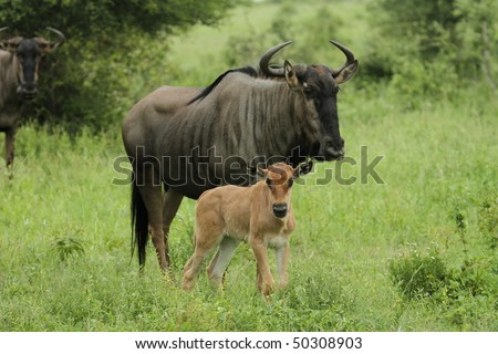 Wildebeest young and Mother - stock photo